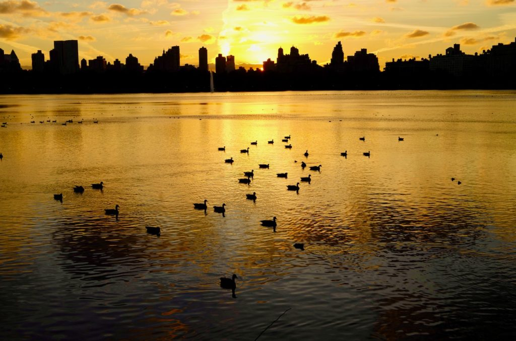 About 20 ducks in the foreground on water, which is golden in colour, in the distance the the skyline of Manhattan is silhouetted by the sun which is setting.